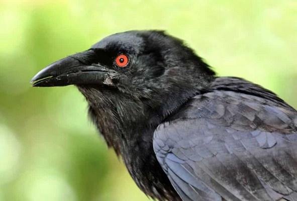 Burung-Gagak-dikenal-Sebagai-Syarat-Ritual-Adat-atau-Gaib